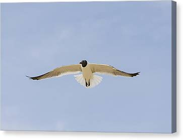 Graceful Gull Canvas Print by Bradley Clay