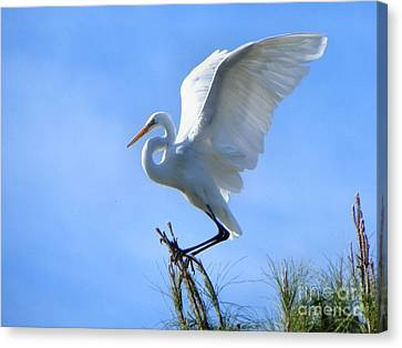 Canvas Print featuring the photograph Graceful Landing by Deb Halloran
