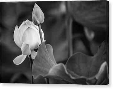 Graceful Lotus. Balck And White. Pamplemousses Botanical Garden. Mauritius Canvas Print by Jenny Rainbow
