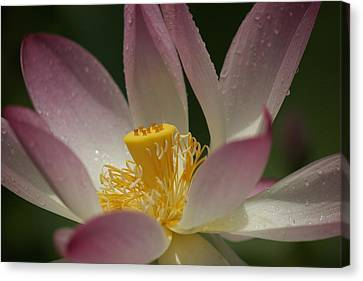 Graceful Lotus Canvas Print by Bonita Hensley