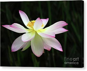 Graceful Lotus Canvas Print