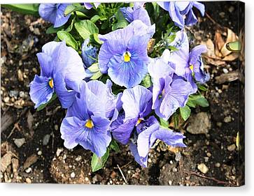Canvas Print featuring the photograph Graceful Pansies by Judy Palkimas