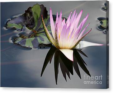 Graceful Water Lily Canvas Print by Sabrina L Ryan