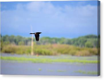 Grackle In Flight Canvas Print by Bonfire Photography