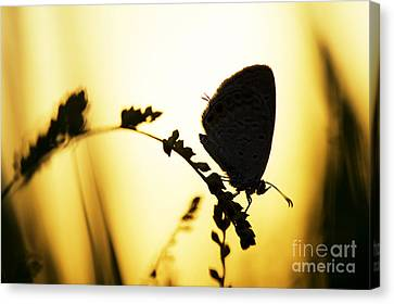 Gram Blue Butterfly Silhouette Canvas Print by Tim Gainey