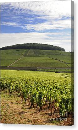 Grand Cru And Premier Cru Vineyards Of Aloxe Corton. Cote De Beaune. Burgundy. France. Europe. Canvas Print