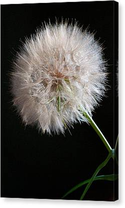 Canvas Print featuring the photograph Grand Mountain Dandelion by Kevin Bone
