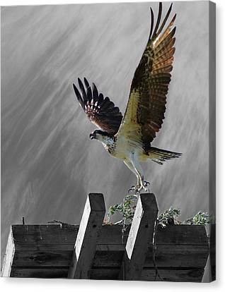 Grand Ole Osprey Canvas Print by Davandra Cribbie