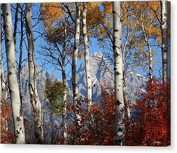 Grand Teton Through The Aspens Canvas Print