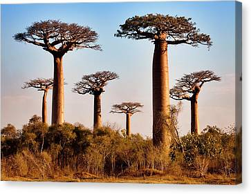 Long-lived Canvas Print - Grandidier's Baobab Trees by Alex Hyde