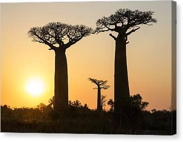 Grandidiers Baobabs At Sunset Madagascar Canvas Print