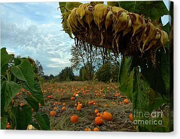 Grandpa's Pumpkin Patch Canvas Print by Nick  Boren