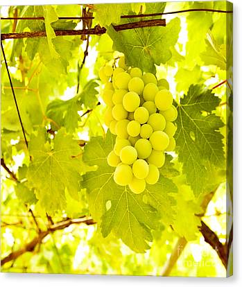 Grape Branch Canvas Print by Anna Omelchenko