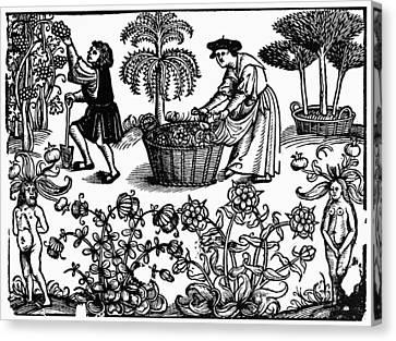 Grape Harvest, 1576 Canvas Print by Granger