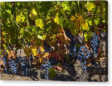 Grape Harvest Canvas Print by Garry Gay