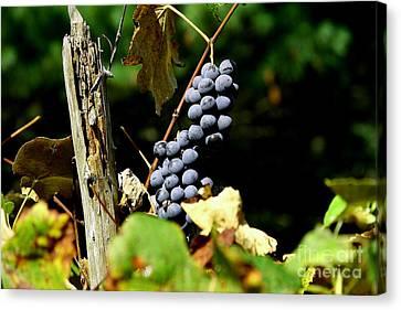 Grape Harvest Canvas Print by Neal Eslinger