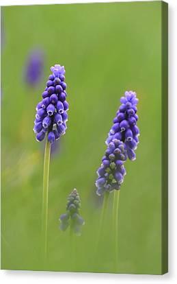 Grape Hyacinth Canvas Print by Angie Vogel