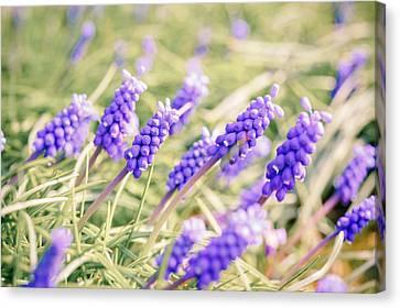 Grape Hyacinth Flowers Canvas Print