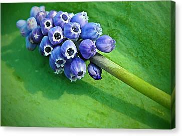Grape Hyacinth Spike  Canvas Print by Chris Berry