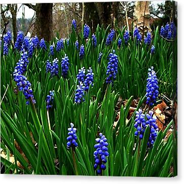 Julie Dant Artography Canvas Print - Grape Hyacinths by Julie Dant