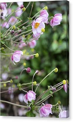 Grape-leaf Anemone Canvas Print by Carol Groenen