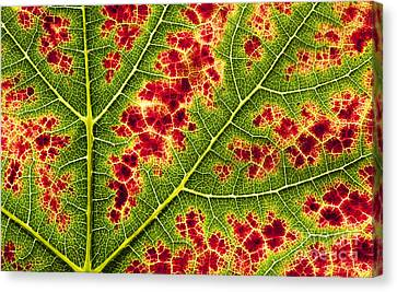 Grape Leaf Texture Canvas Print by Tim Gainey