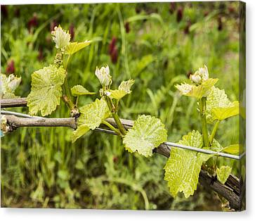 Grape Leaves In Early Spring Canvas Print