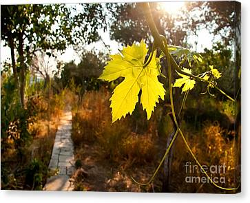 Grape Vine By A Path In A Garden Canvas Print by Leyla Ismet
