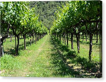 Grape Vines In A Row Canvas Print