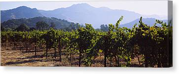 Grape Vines In A Vineyard, Napa Valley Canvas Print by Panoramic Images