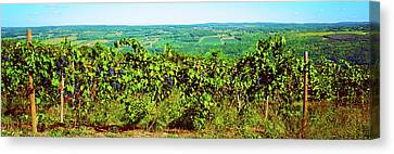 Grape Vineyards In Finger Lake Region Canvas Print
