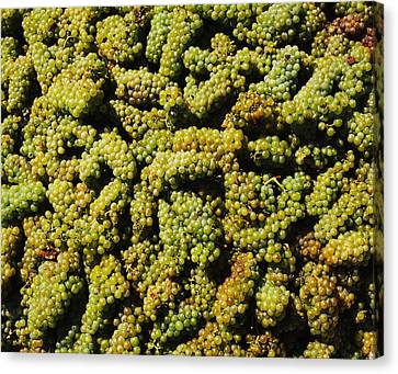 Grapes In A Vineyard, Domaine Carneros Canvas Print by Panoramic Images