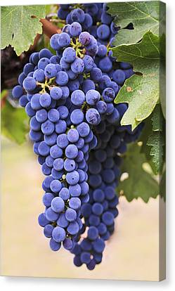 Bunch Of Grapes Canvas Print - Grapes Merlot Red Wine Variety Growing by Ken Gillespie