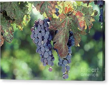 Grapes Nearing Maturity In Napa Valley Canvas Print by Ron Sanford