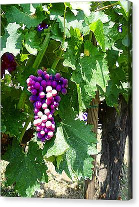 Grapes Of Tuscany Italian Winery  Canvas Print