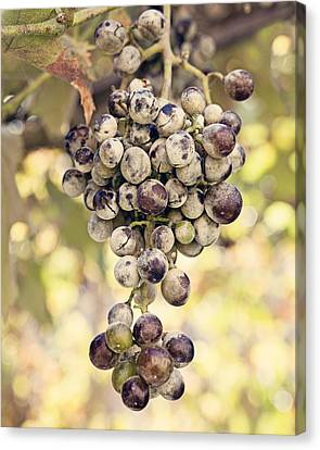 Bunch Of Grapes Canvas Print - Grapes On The Vine by Angela Bonilla