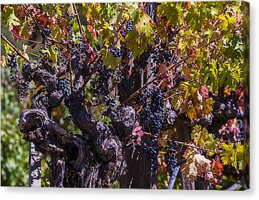 Grapes On The Vine Canvas Print by Garry Gay