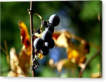 Grapes On The Vine No.2 Canvas Print