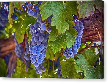 Grapes On The Vine Canvas Print by Rosanne Nitti