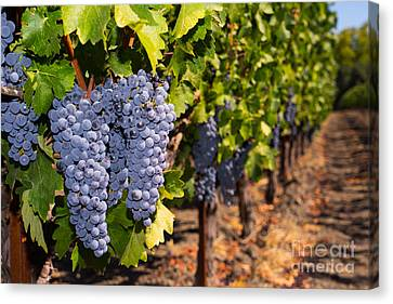 Napa Valley And Vineyards Canvas Print - Grapes On The Vines In The St Helena Vineyards Napa California Dsc1729 by Wingsdomain Art and Photography