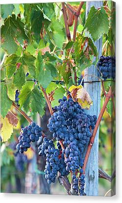Grapes Ready For Harvest On The Tuscan Canvas Print by Terry Eggers