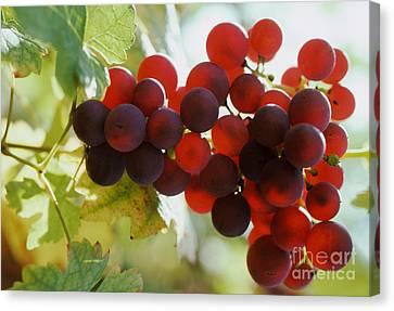 Grapes Canvas Print by Ron Sanford