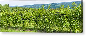 Winemaking Canvas Print - Grapevines In A Vineyard, Finger Lakes by Panoramic Images
