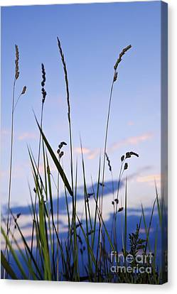 Grass At Sunset Canvas Print by Elena Elisseeva