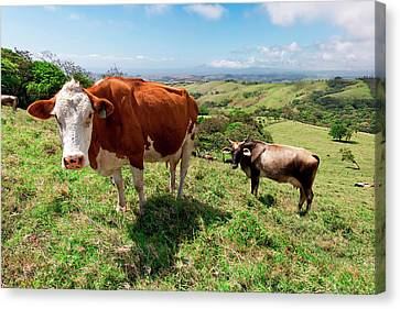 Grass Fed Cattle, Costa Rica Canvas Print by Susan Degginger