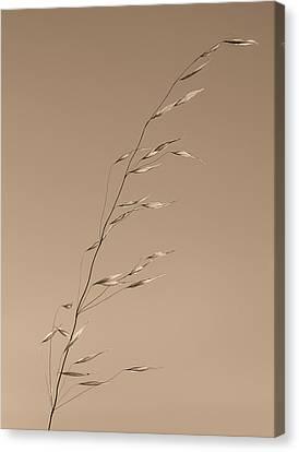 Grass Stalk  Canvas Print by Joseph Smith