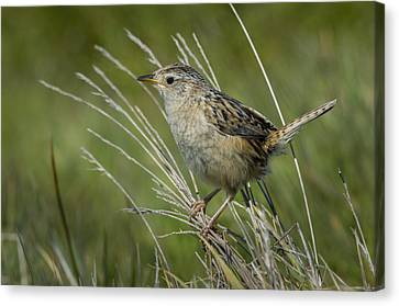 Grass Wren Canvas Print by John Shaw
