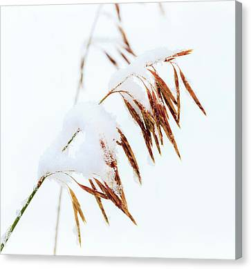 Grasses, First Snow Of October Canvas Print by Maresa Pryor