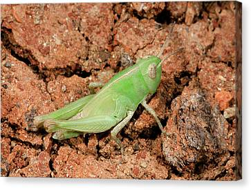 Grasshopper Aiolopus Strepens Nymph Canvas Print by Nigel Downer