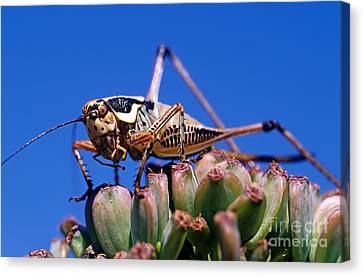 Grasshopper Canvas Print - Grasshopper by George Atsametakis